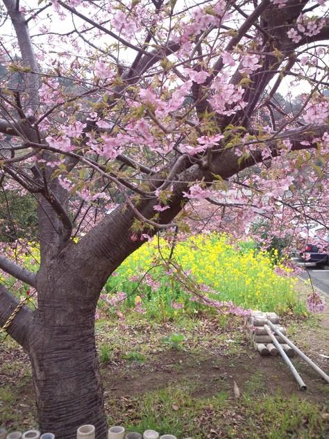 伊豆 河津 河津桜見に行ってきました!_c0204724_2385488.jpg