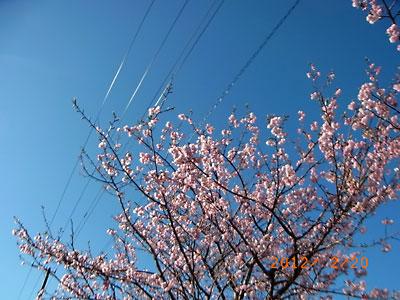 河津桜が綺麗でした(フリージア畑近くで)_e0097770_21353145.jpg