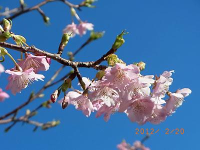 河津桜が綺麗でした(フリージア畑近くで)_e0097770_21354983.jpg