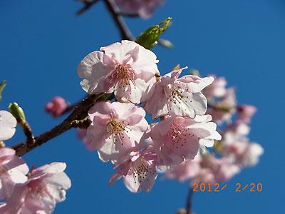 河津桜が綺麗でした(フリージア畑近くで)_e0097770_21355836.jpg