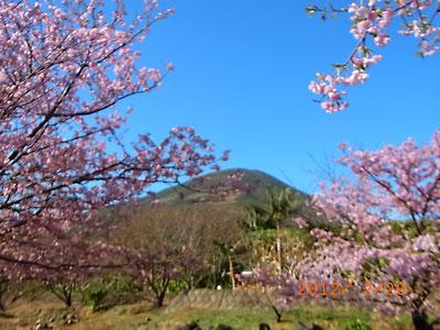 河津桜が綺麗でした(フリージア畑近くで)_e0097770_2136716.jpg