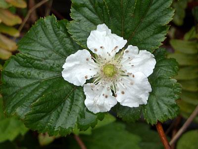 フリージア、大分膨らんできていました(キブシの花も綺麗です)_e0097770_2271494.jpg
