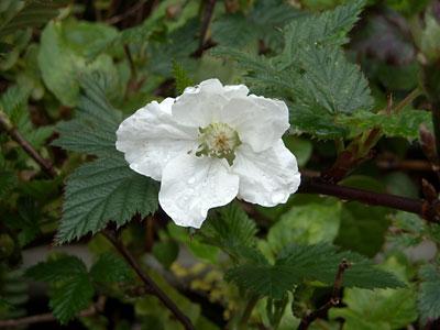 フリージア、大分膨らんできていました(キブシの花も綺麗です)_e0097770_227567.jpg