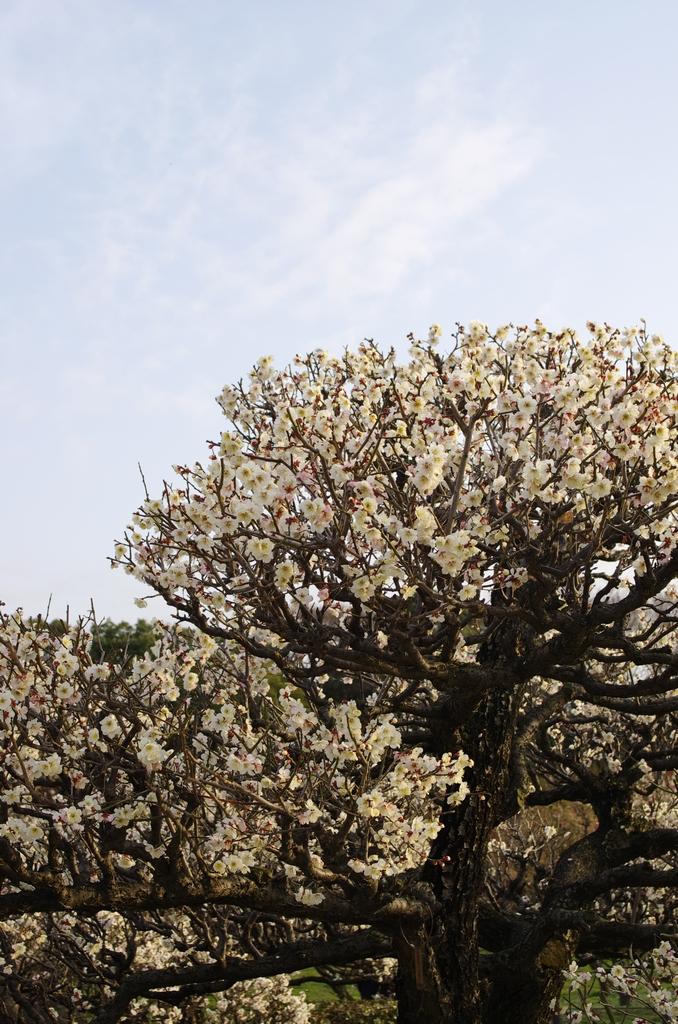 「梅香る、大阪城公園 梅林」_a0133692_19302763.jpg