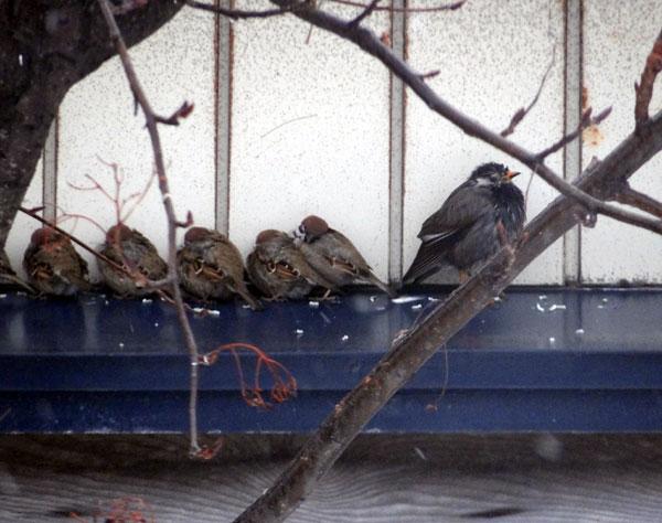 ツグミ、ムクドリ、雀など・・・沢山のウンpも^^_a0136293_15195115.jpg