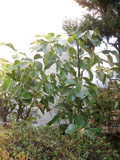 地植えにした接木アボカド