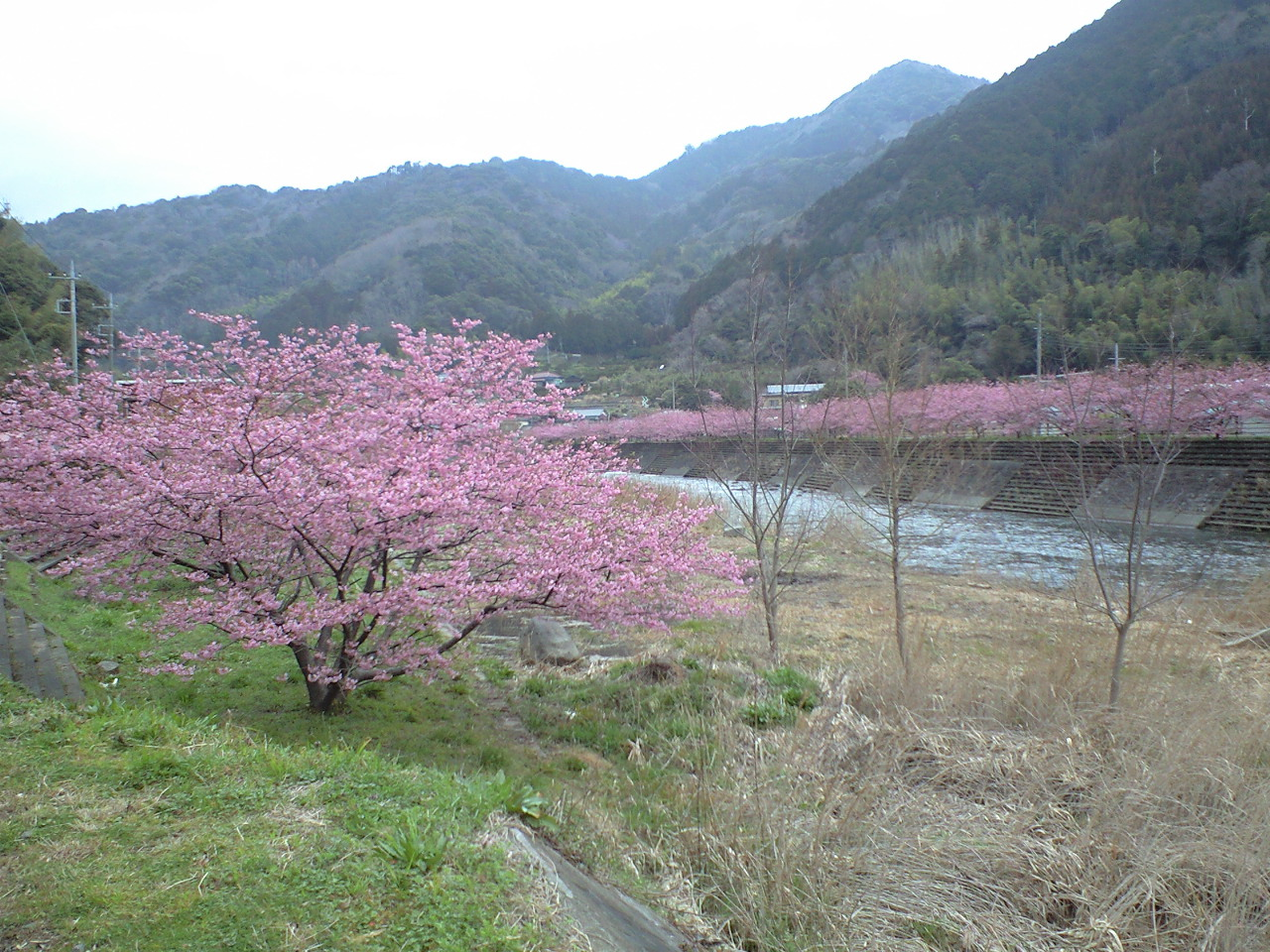 河津桜_d0168318_1016299.jpg