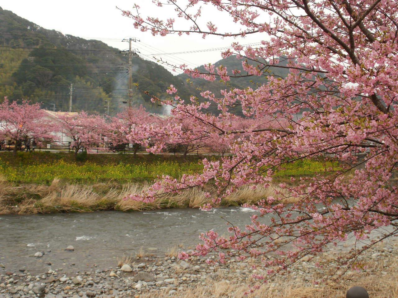 今日は母と一緒に河津桜を堪能しました♪_f0095325_23182090.jpg
