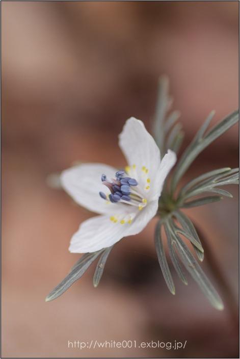 春、来たね・・・セツブンソウ_e0027083_22284048.jpg