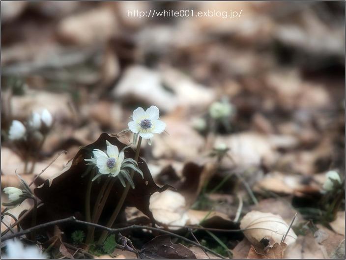 春、来たね・・・セツブンソウ_e0027083_2273745.jpg