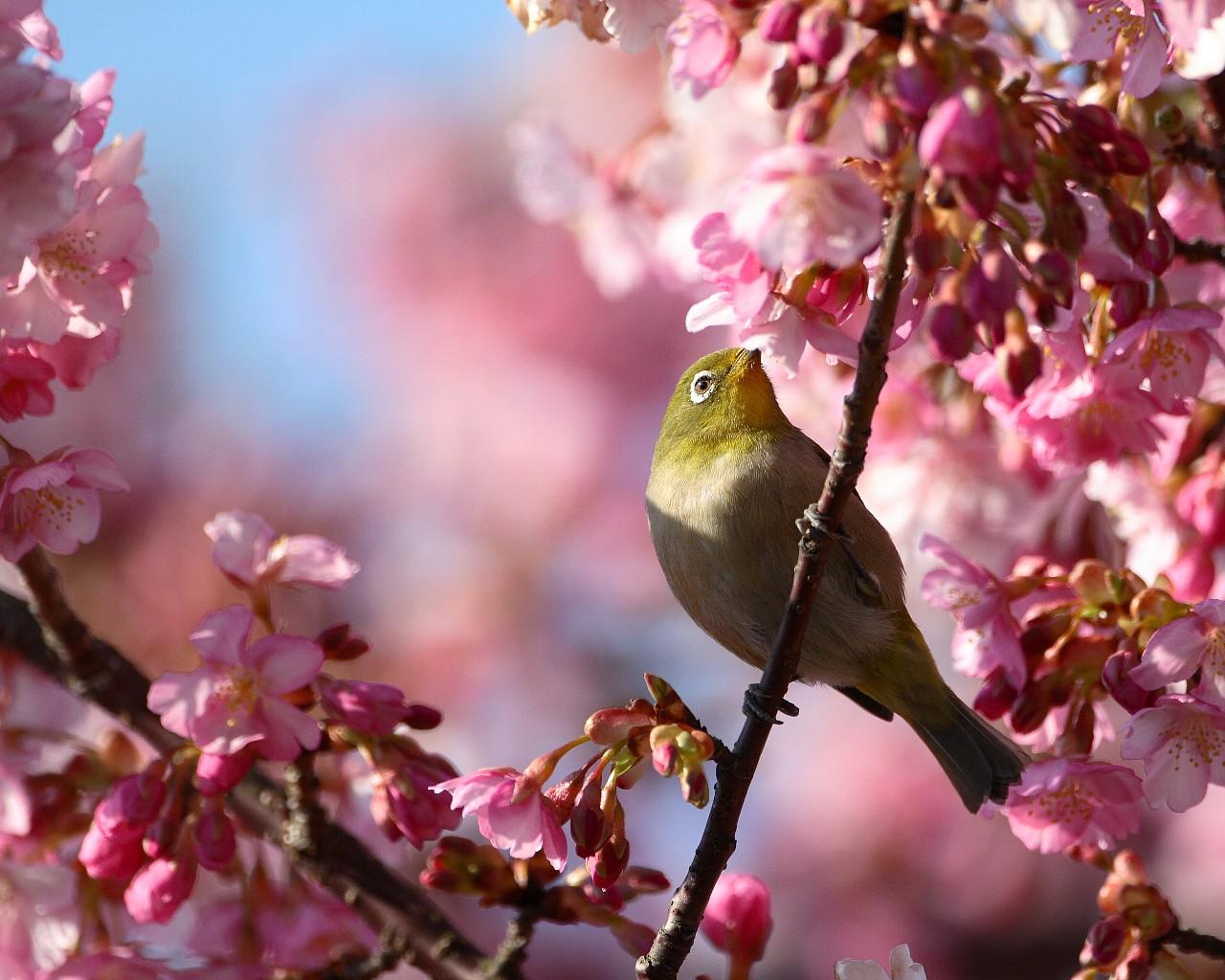 鳥と花シリーズ: メジロと河津桜_f0105570_21444639.jpg