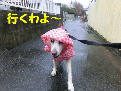 雨でもお散歩行きマシタ_e0222588_16584596.jpg