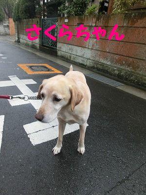 雨でもお散歩行きマシタ_e0222588_1725041.jpg
