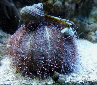 * 英語ではSea urchin *_f0146198_1751382.jpg