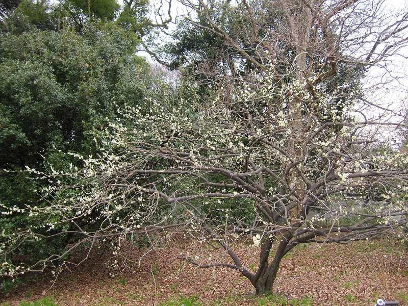 京都御所の梅模様(2011年)_e0237645_0202764.jpg