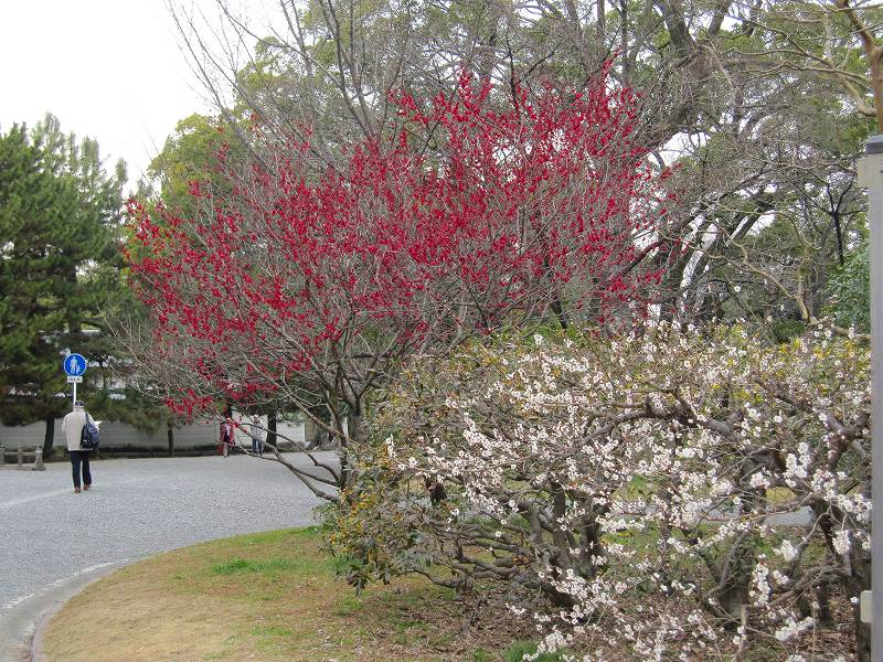 京都御所の梅模様(2011年)_e0237645_0205977.jpg