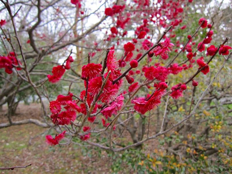 京都御所の梅模様(2011年)_e0237645_0215764.jpg