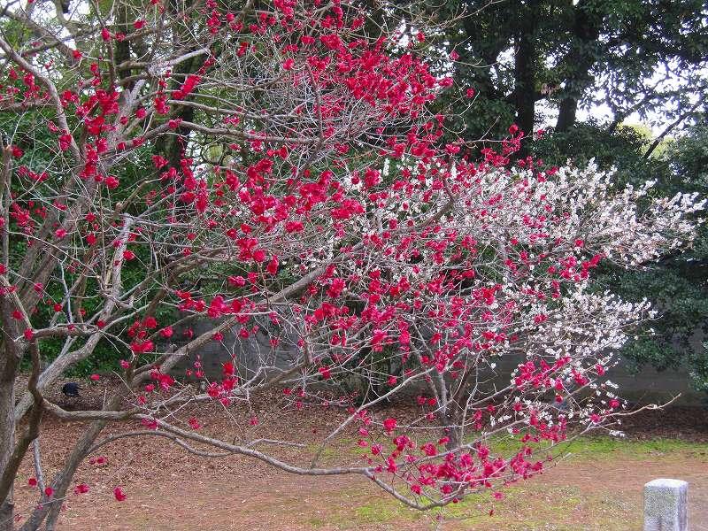 京都御所の梅模様(2011年)_e0237645_022421.jpg