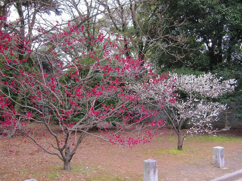 京都御所の梅模様(2011年)_e0237645_023282.jpg