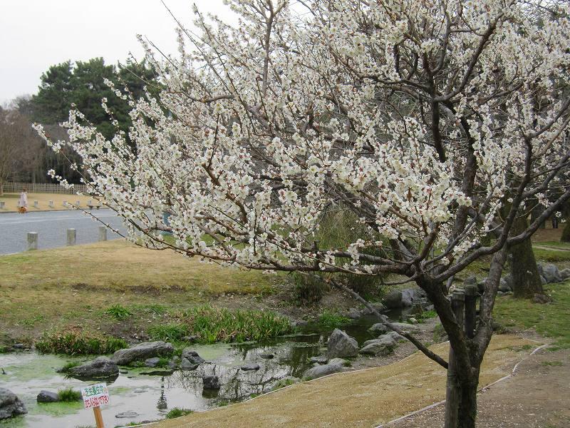 京都御所の梅模様(2011年)_e0237645_0252875.jpg