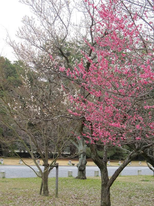 京都御所の梅模様(2011年)_e0237645_0261211.jpg