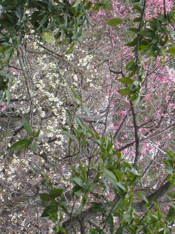 京都御所の梅模様(2011年)_e0237645_0272882.jpg