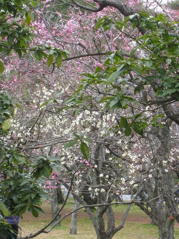 京都御所の梅模様(2011年)_e0237645_0283056.jpg