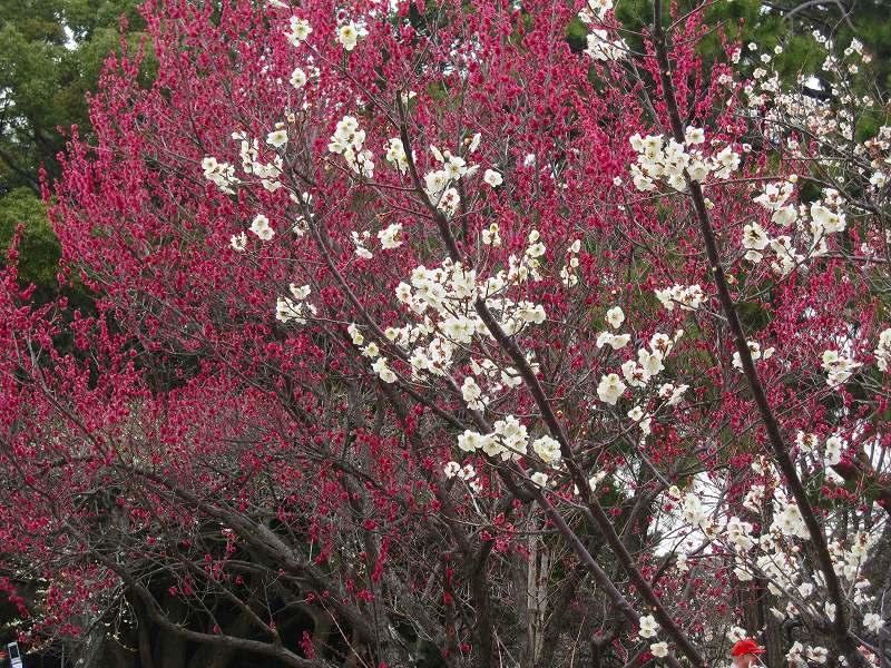 京都御所の梅模様(2011年)_e0237645_0285879.jpg