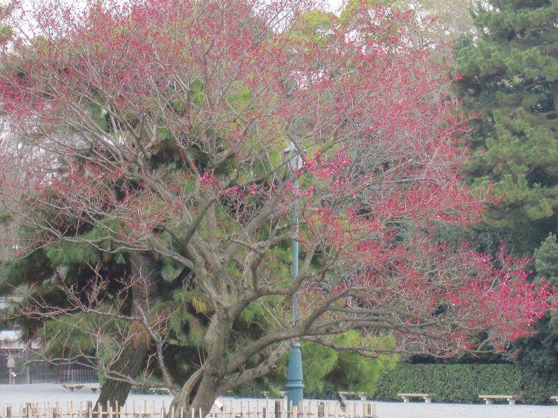京都御所の梅模様(2011年)_e0237645_0292336.jpg