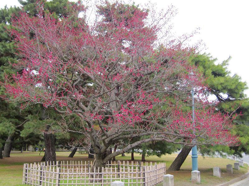 京都御所の梅模様(2011年)_e0237645_0294141.jpg
