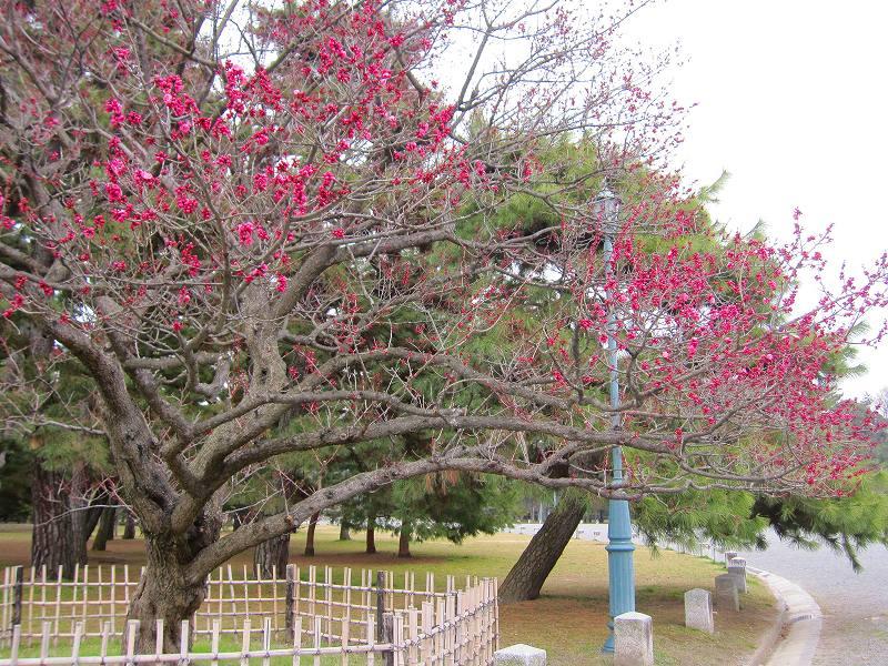 京都御所の梅模様(2011年)_e0237645_030433.jpg