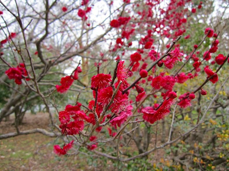 京都御所の梅模様(2011年)_e0237645_05204.jpg