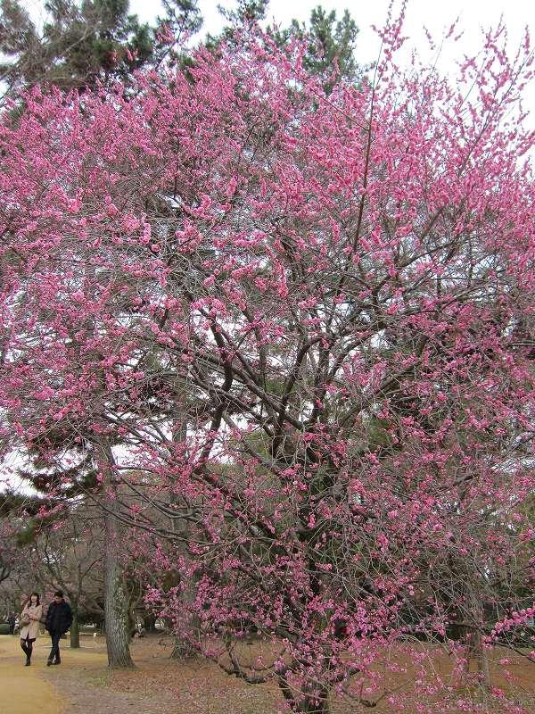 京都御所の梅模様(2011年)_e0237645_062843.jpg
