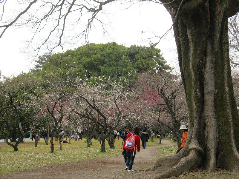 京都御所の梅模様(2011年)_e0237645_075093.jpg