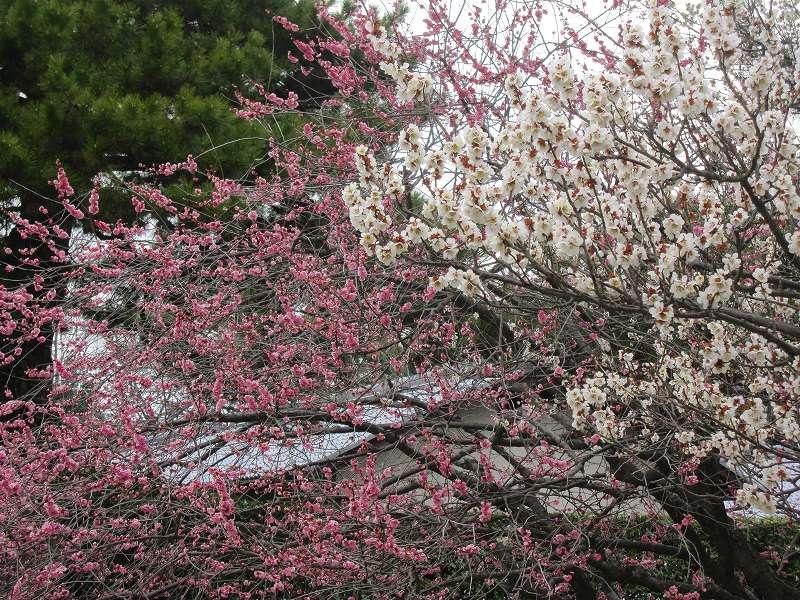 京都御所の梅模様(2011年)_e0237645_07891.jpg