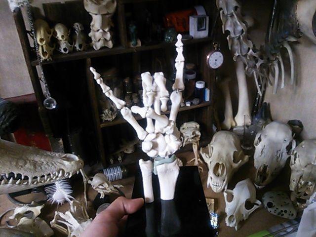 骨格模型手に入れました。【注:骨画】_d0014014_10245.jpg