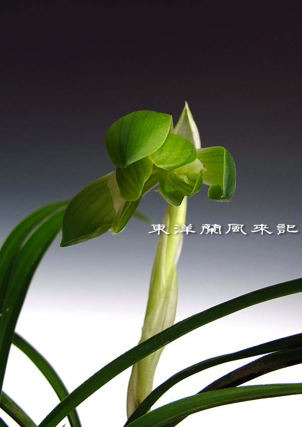 日本春蘭「青旗」                   No.1134_d0103457_029242.jpg