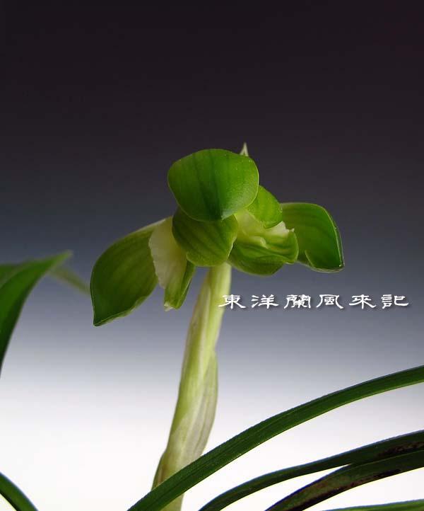 日本春蘭「青旗」                   No.1134_d0103457_0293422.jpg
