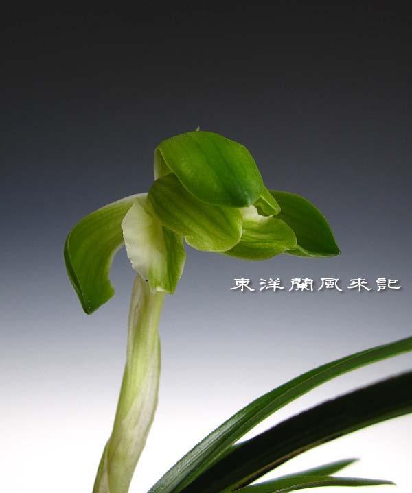 日本春蘭「青旗」                   No.1134_d0103457_0294687.jpg