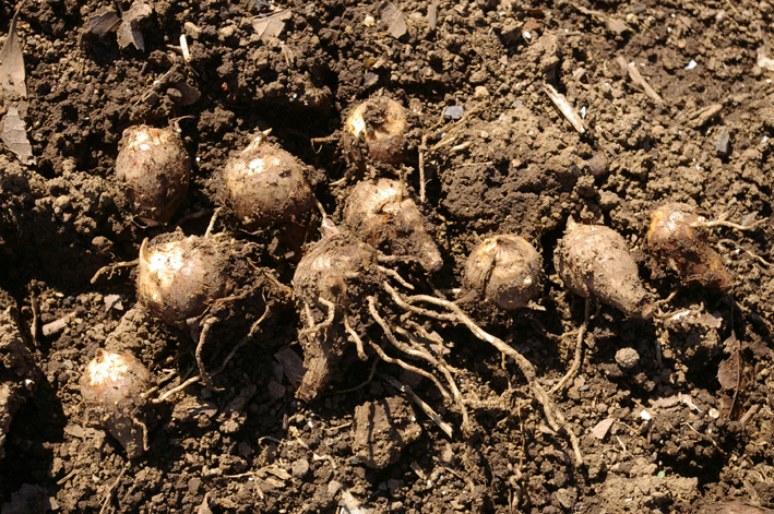 エビイモとヤツガシラの種芋の植え付け完了(12・3・12)_c0014967_2111246.jpg