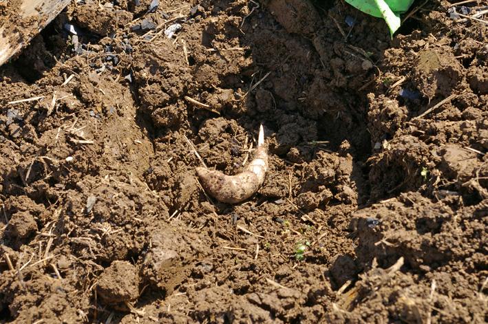 エビイモとヤツガシラの種芋の植え付け完了(12・3・12)_c0014967_2145370.jpg