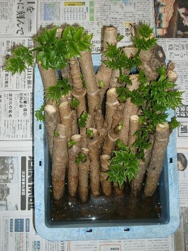 「タラのふかし」のタラの芽とフキノトウの収穫 _f0018078_19415971.jpg