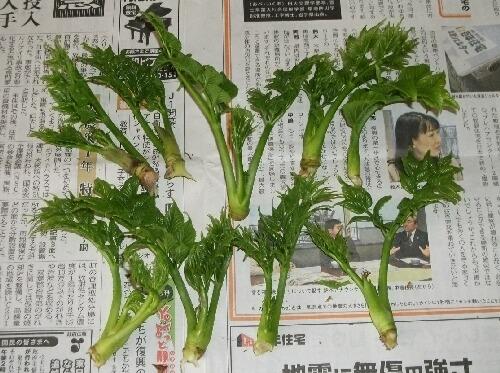 「タラのふかし」のタラの芽とフキノトウの収穫 _f0018078_19421916.jpg