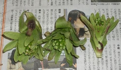 「タラのふかし」のタラの芽とフキノトウの収穫 _f0018078_194316100.jpg