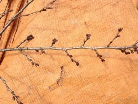 牧谷保育園 桜の木を再生(3/13)_b0226723_12482967.jpg