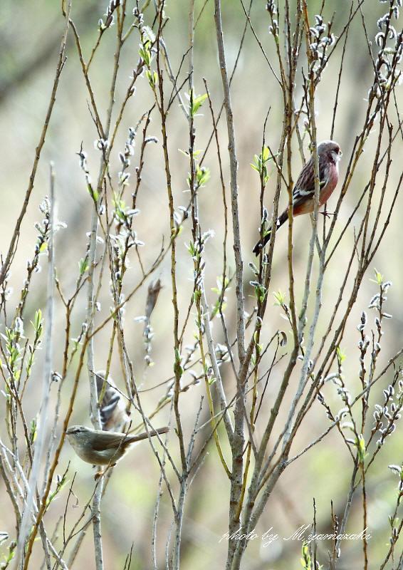 ヤナギの新芽とベニマシコ_c0217255_18114745.jpg