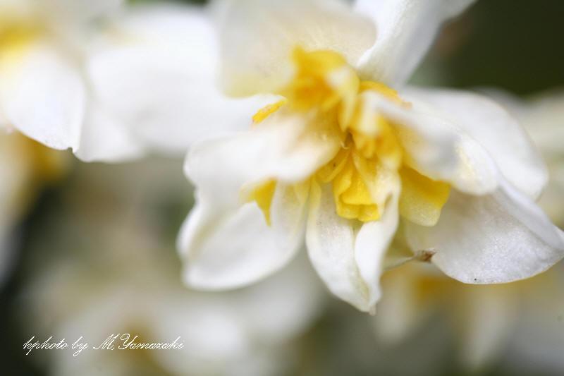 ヤナギの新芽とベニマシコ_c0217255_18191579.jpg