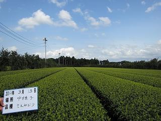 鹿児島県 種子島 新芽情報_d0108817_1744474.jpg