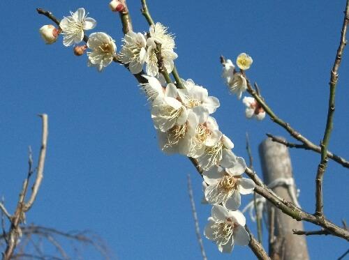 今年の梅の花は晩い _f0018078_19271919.jpg