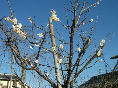 今年の梅の花は晩い _f0018078_19272824.jpg